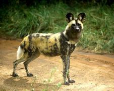 African wild dog (lycaon pictus) - stock photo
