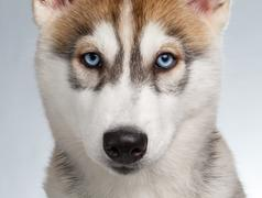 Closeup Siberian Husky Puppy Stock Photos