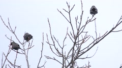 Young Black Rook is Sitting on a Tree Branch. 4K UltraHD, UHD Stock Footage