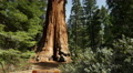 4K Sequoia Forest Timelapse 01 General Grant Tree Tilt Up Clouds 4k or 4k+ Resolution