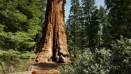 Stock Video Footage of 4K Sequoia Forest Timelapse 01 General Grant Tree Tilt Up Clouds