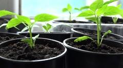 Paprika, Pepper Plants in Pots on Window. Panoraming. 4K UltraHD, UHD Stock Footage