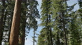 4K Sequoia Forest Timelapse 02 General Grant Tree Tilt Up Clouds 4k or 4k+ Resolution