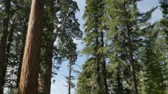 4K Sequoia Forest Timelapse 02 General Grant Tree Tilt Up Clouds Stock Footage