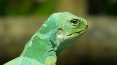 A lizard also known as Fiji Iguana standing on a branch Stock Footage