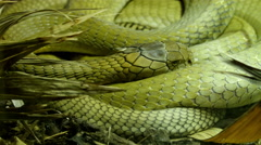 A green big king cobra curling up on a grass Stock Footage