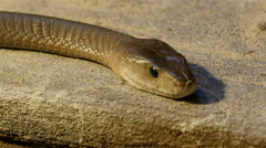 Brown shiny scales of the black mamba snake Stock Footage