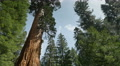 4K Sequoia Forest Timelapse 07 General Grant Tree Tilt Up Clouds 4k or 4k+ Resolution