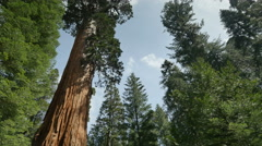 4K Sequoia Forest Timelapse 07 General Grant Tree Tilt Up Clouds Stock Footage