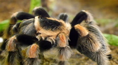 An orange and black tarantula on the rock Stock Footage