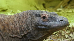 Big puffed head brown lizard Stock Footage