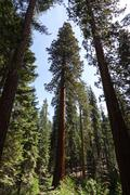 Redwood Trees Wide-angle Shot Against Blue Sky Stock Photos