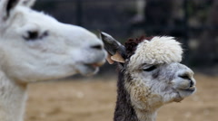Two white Llamas munching something on their mouth - stock footage