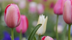 Closeup shot of tulips Stock Footage