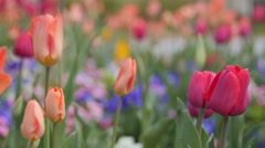 Beautiful tulip garden in the springtime rack focus Stock Footage