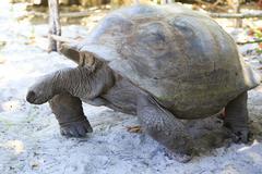 Aldabra giant tortoise in island Curieuse Stock Photos