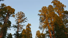 Stock Video Footage of 4K Sequoia Forest Timelapse 14 Sunset Grant Grove Kings Canyon