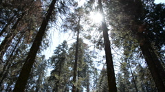 Stock Video Footage of Sequoia Forest Timelapse 14