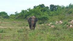 Wild indian elephant walking 4k Stock Footage
