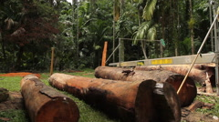 Locals Milling Tropical Trees in the Jungle of KOROR, PALAU Stock Footage