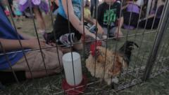Kids petting zoo - petting roasters and chicks Stock Footage