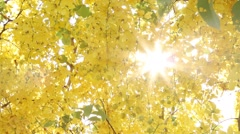 Golden shower tree at noon, Golden shower through sunlight Stock Footage