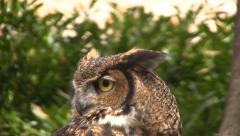 Owl bobs head then looks at camera - stock footage