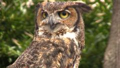 Stock Video Footage of Owl with beak open slightly