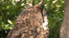 Owl turns away from camera then bobs head - stock footage