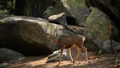 Stock Video Footage of 4K Sequoia National Park Mule Deers 01