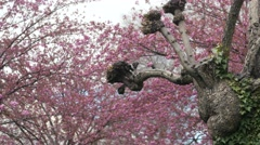 A cool old tree and blossoms Stock Footage