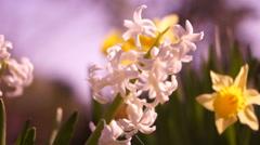 White Hyacinth Stock Footage