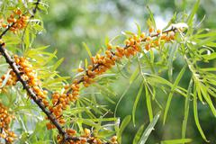 Sea-buckthorn - stock photo