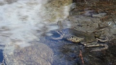 Rana temporaria, frog, coupling, couple, mountain frog, pond, water, stream, - stock footage