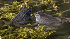 Mountain frogs (Rana temporaria) in the water of a pond Stock Footage
