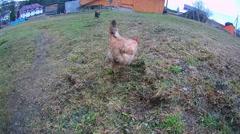 Chicken runs on grass Stock Footage