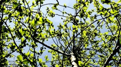Beech leaves in spring Stock Footage
