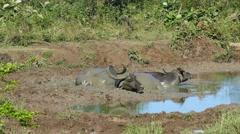 Three wild buffalo lying in the mud 4k Stock Footage