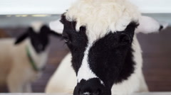 Funny Lamb Stock Footage