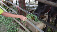 Feed fresh green grass to hungry cow in stall for make merit by hand Stock Footage