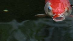 Koi, Fancy Carp are swimming in above Stock Footage