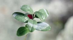 Freezing cowberry plant 1 proresHQ 4K UHD Stock Footage