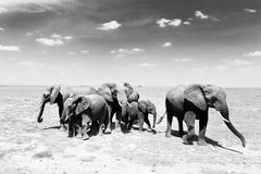 Loxodonta africana, African bush elephant. - stock photo