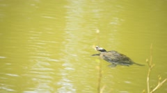 Coastal Cooter swimming Stock Footage