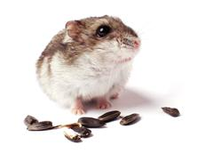 hamster with grain on white - stock photo