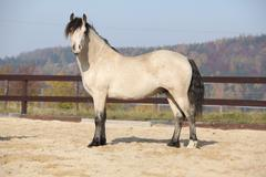 Amazing palomino welsh cob stallion with black hair - stock photo