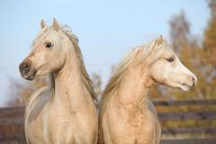 Two beautiful welsh stallions together Stock Photos