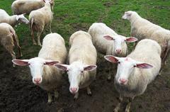 Flock of shorn sheep Stock Photos