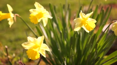 Group Of Yellow Daffodils Or Narcissus Stock Footage