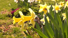 Yellow Daffodils Or Narcissus, Morning Sun Stock Footage